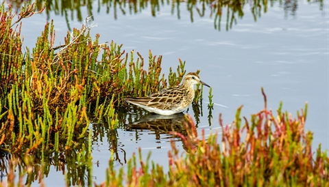 Sharptailed Sandpiper
